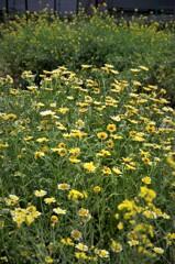 花がいっぱい:ぜんぶ黄色