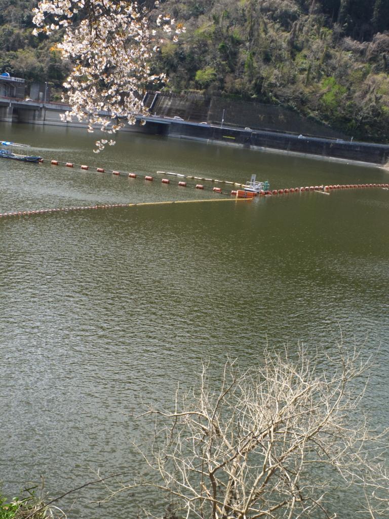 ダムの湖面:サクラ入り