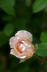バラ:プリンセス・シャルレーヌ・ドゥ・モナコ
