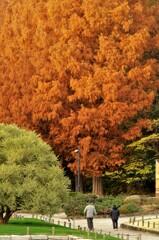紅葉:メタセコイア