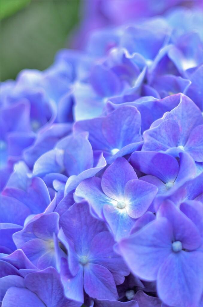 紫07:アジサイ