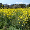 高原の春:菜の花いっぱい