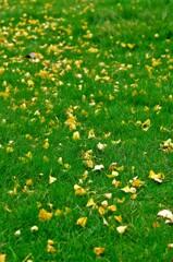 芝生に銀杏の落葉。