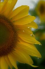 気温12度:冷たい雨の中で咲く 01