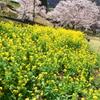 咲いてますね、春ですね:サクラ 菜の花