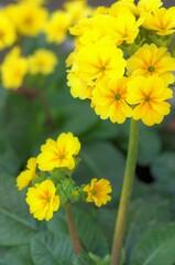 黄色い草花 → プリムラ