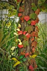 ツタ植物の紅葉