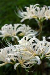 白色ももちろん咲いています。