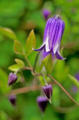 紫06:クレマチス 鐘型