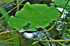 池のツチガエル