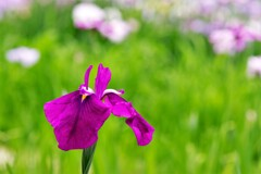 ショウブ:濃い紫系