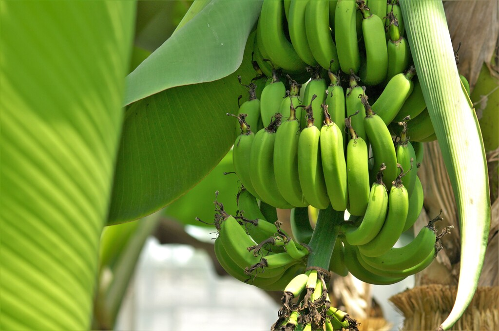 これはもちろんバナナ