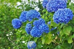 青い紫陽花:あざやか