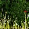 雨後の竹の子と言うよりアスパラガス?:彼岸花