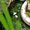 アナカリスの白い花