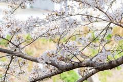 桜でお食事