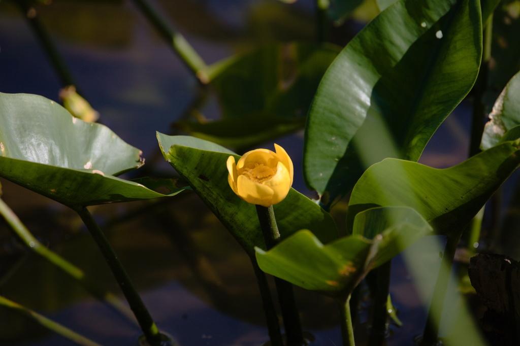 水辺に咲く可哀そうな名の花