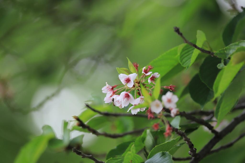 子どもの日に咲く桜