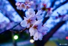 桜とマジックアワー