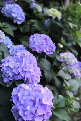 紫彩(むらさきいろ)