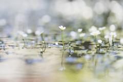 滋賀 醒ヶ井梅花藻