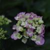 色づきはじめ紫陽花2