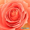 SWEAT ROSE