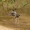 ヒヨドリの離水