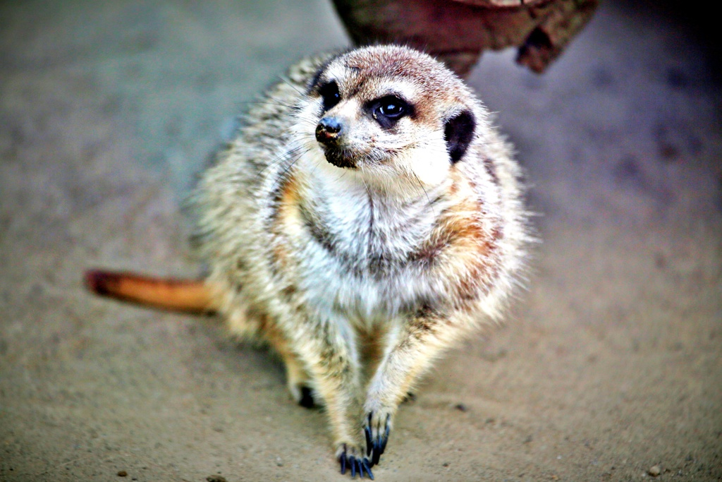 いらっしゃいませ♪~動物園にようこそ!:ミーアキャット