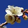 春色微風:白加賀