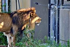 ライオンも戸締りは確認するらしい!?