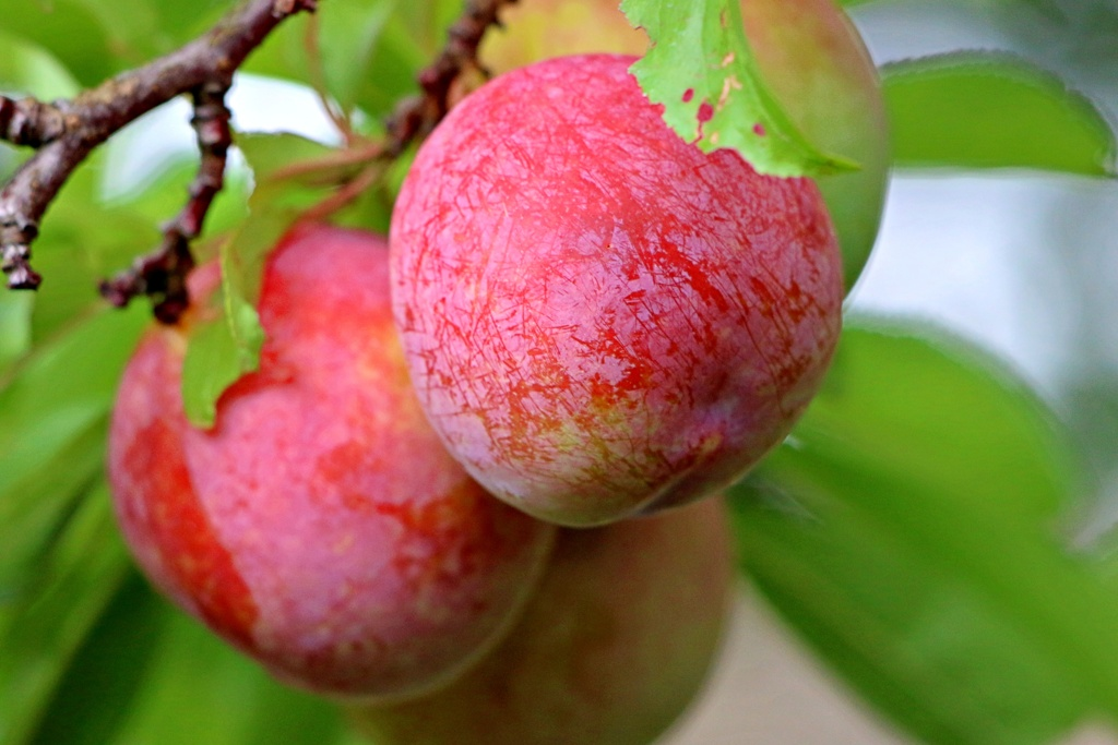 古より馴染みの果物:スモモ