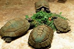 良く亀食堂:エミスムツアシガメ