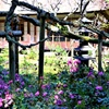 秋明菊が咲き乱れる庭