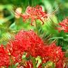 赤いヒガンバナ