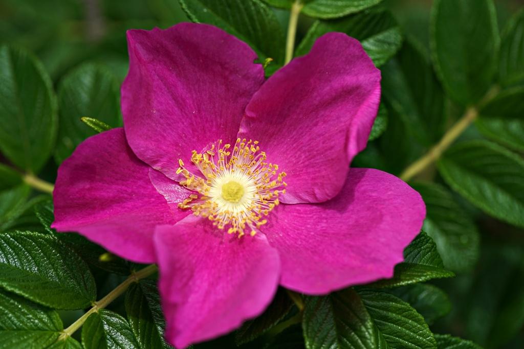 紫尽くし:ハマナス
