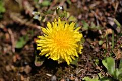 野に咲く花:タンポポ