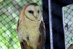 森林の住人たち②:メンフクロウ