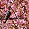 2020年「まつだ桜まつり」:桜とヒヨドリ