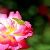 クツワムシと薔薇