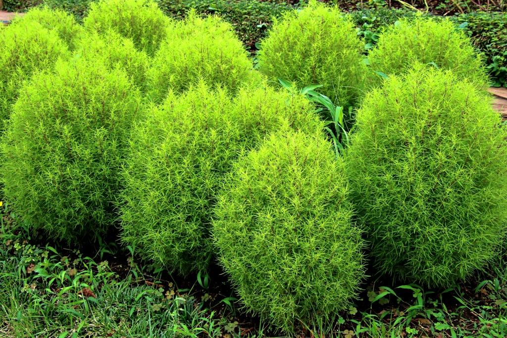 緑のほうき草