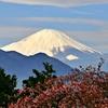 2020年「まつだ桜まつり」:富士山と桜