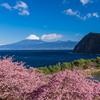 河津桜とⅡ
