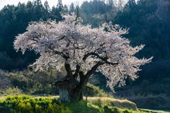 小沢の桜Ⅱ