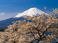 桜と富士山Ⅲ