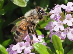 自宅から徒歩5分の世界(虫)ミツバチ1