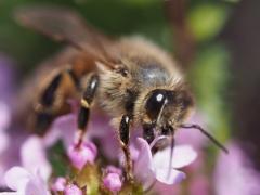 自宅から徒歩5分の世界(虫)ミツバチ3