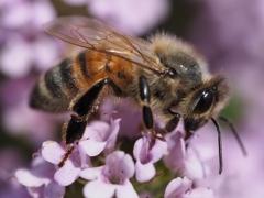 自宅から徒歩5分の世界(虫)ミツバチ2
