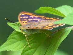 カワセミ待ちの虫撮り 24(コムラサキ)