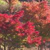 カワセミ公園の紅葉 1